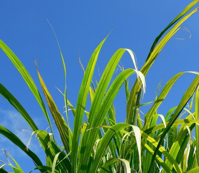 Biofuel crops (photo: Texas A&M University biofuels research alliance)