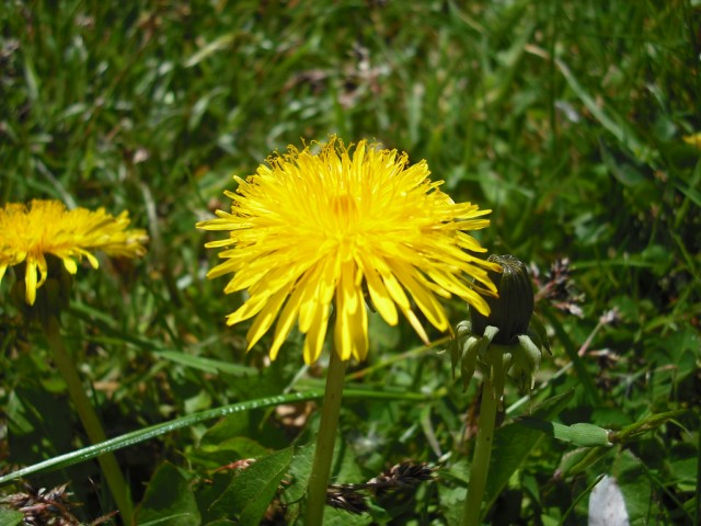 Dandelions could be used for tire rubber [Image: Flickr user jolly_janner]