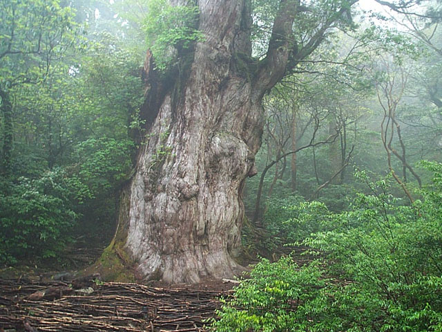 Jhomonsugi, the oldest tree on Yakushima Island, Japan. Photo: Wikimedia Commons