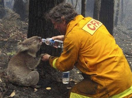 Koala rescued in Victoria, Australia -- via AP