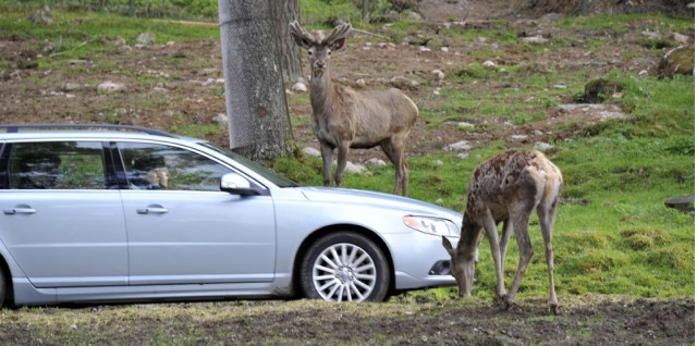 Volvo animal detection safety development