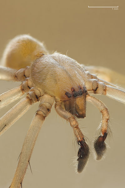 Yellow sac spider. Photo by Richard Bartz.