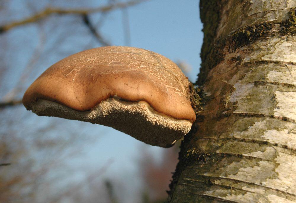 Razor-strop Fungus
