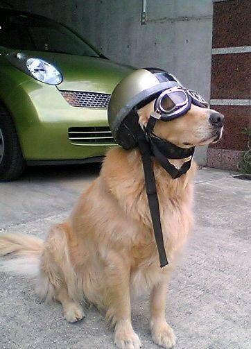 Dog in driving gear
