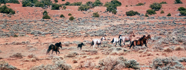 Wild mustangs (Denver Public Library, Western History/Genealogy collection)